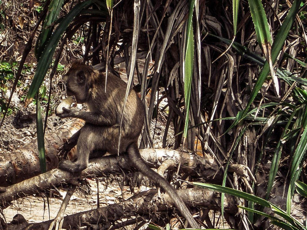 Monkey at Sempu Island, Indonesia