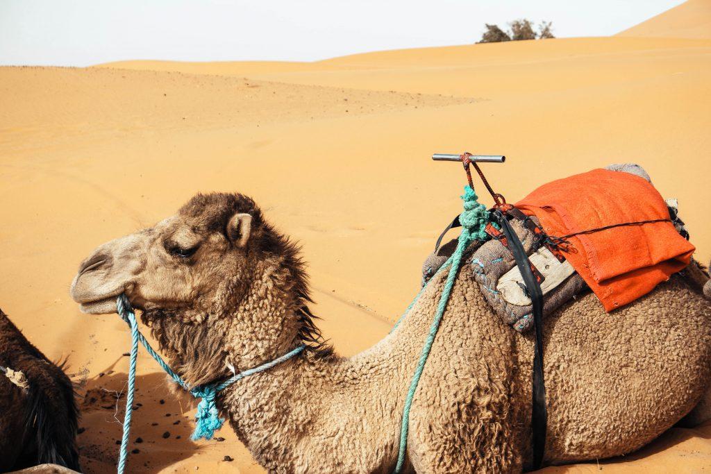 Camels at Erg Chebbi