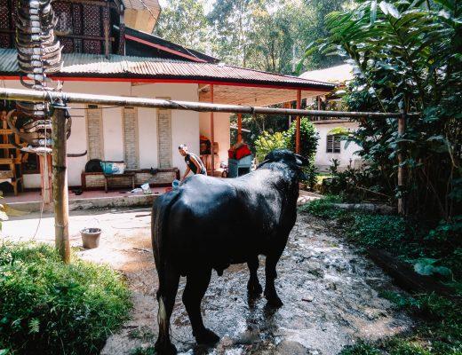 Buffelo in Sulawesi