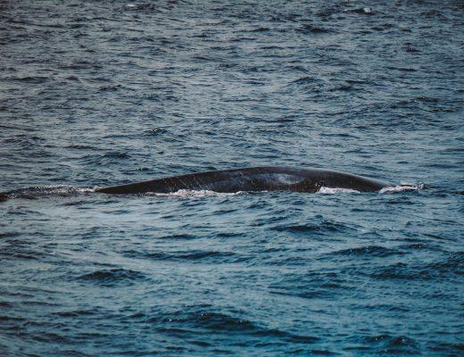 Whale Tour, Blue fin whale, Mirissa, Sri Lanka