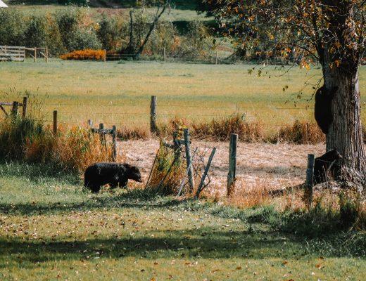 Bears in Wells Grey National Park