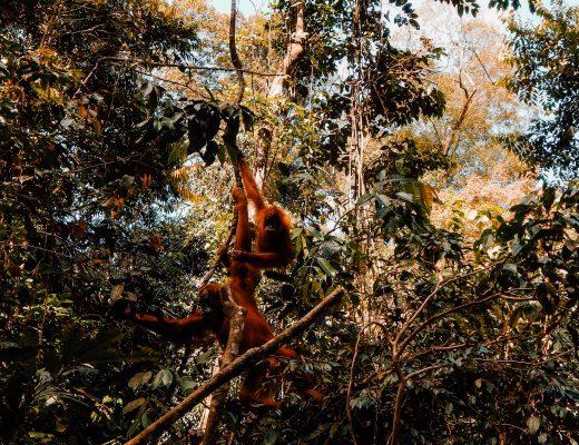 Orangutan, Bukit Lawang, Sumatra, Indonesia