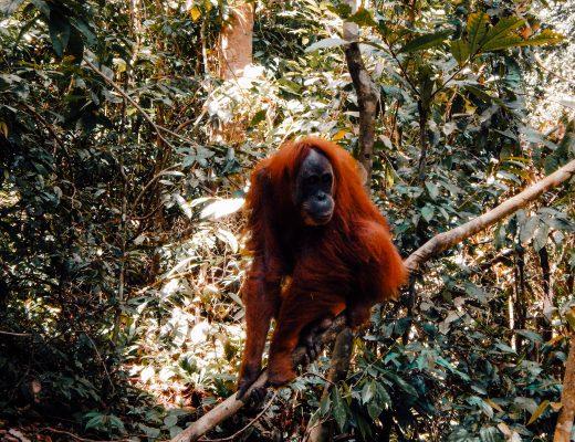 Orangutan jungle trek in Bukit Lawang