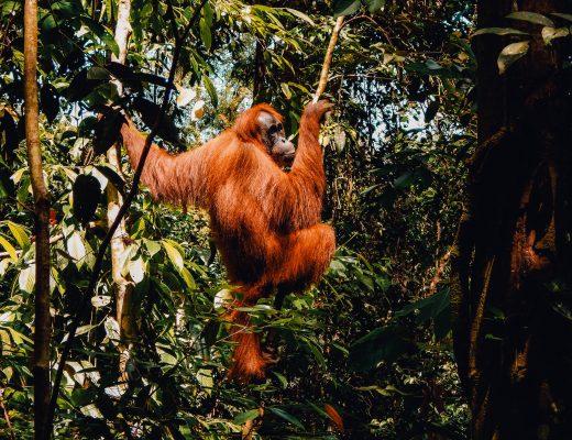 Jungle Trek to see Orangutangs in Bukit Lawang, Sumatra
