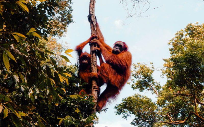 Orangutans in the wild, Bukit Lawang, Sumatra