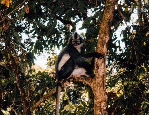 Little monkey in the jungle, Sumatra, Indonesia