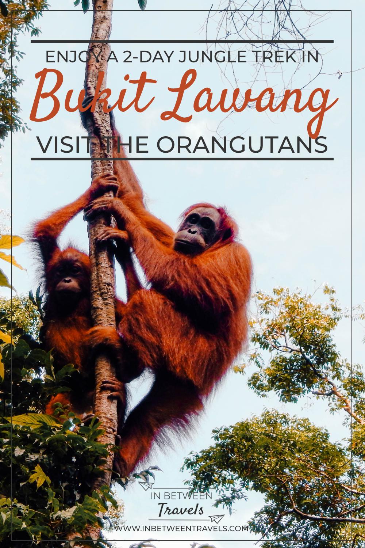 Orangutan jungle trek in Bukit Lawang, Sumatra, Indonesia