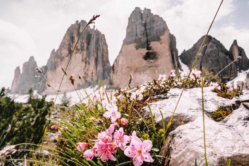 Beautiful flower view on the Tre Cime, Drei Zinnen